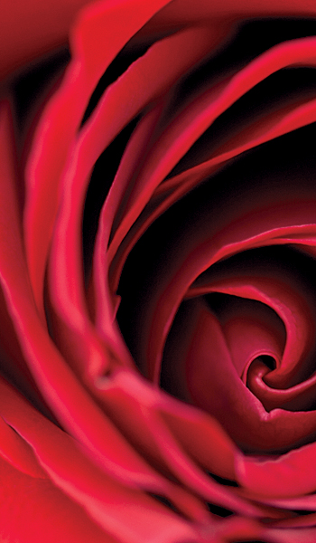 rose close up petals red